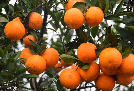 埃及糖橙.jpg