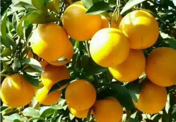 紅江橙.jpg