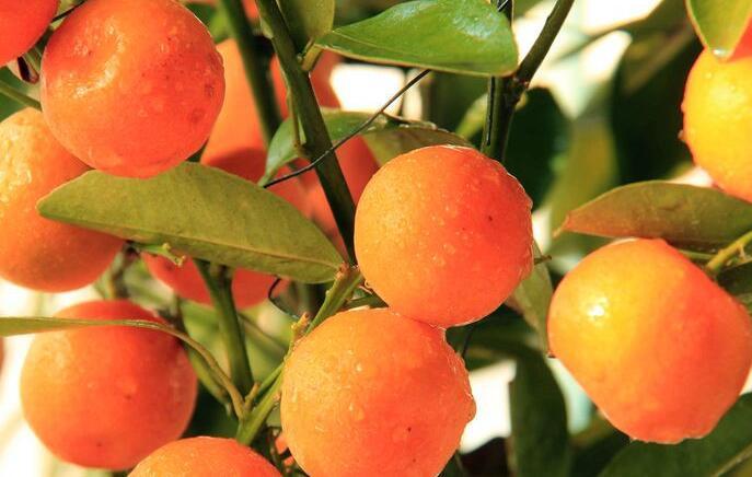 脆蜜金橘.jpg