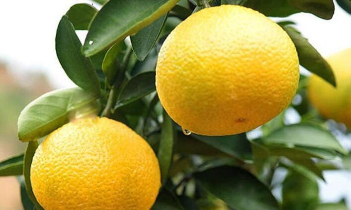 建陽橘柚.jpg