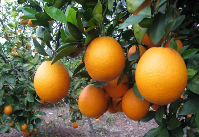 紐荷爾臍橙.jpg
