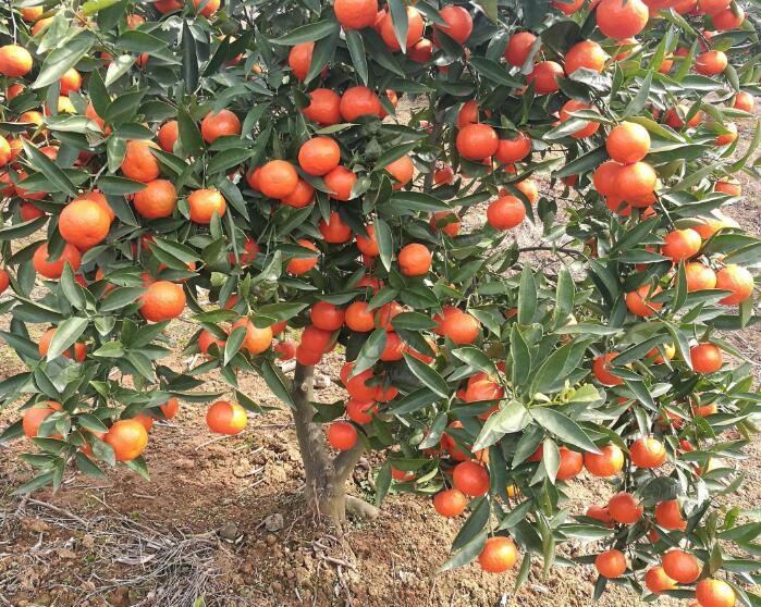 世紀紅橘.jpg